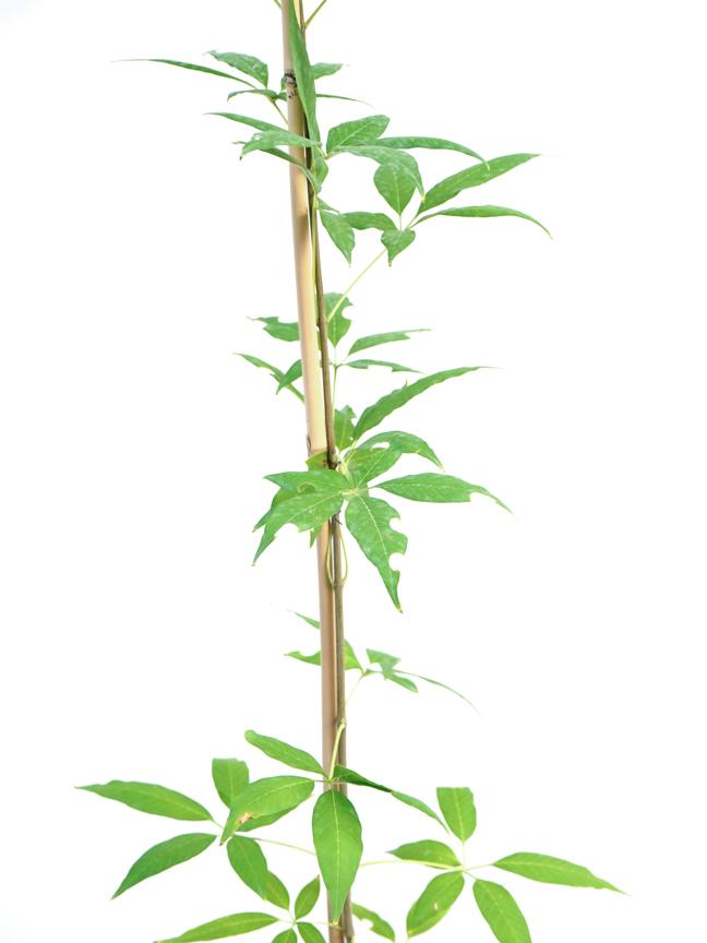 كف مريم 'نباتات خارجية النباتات المزهرة
