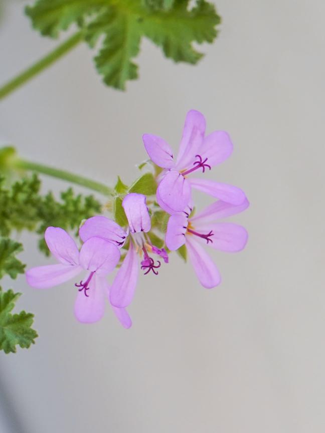 Attra - Herbs - Pelargonium graveolens Outdoor Plants Herbs