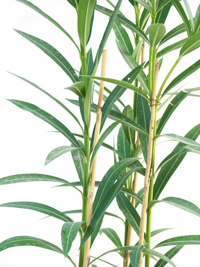 الدفلة نيريوم نباتات خارجية شجيرات