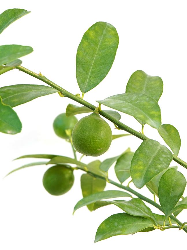 Lemon Shehri 'Outdoor Plants Fruit Plants