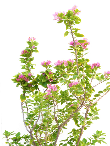 الجهنمية - المجنونة 'نباتات خارجية النباتات المزهرة