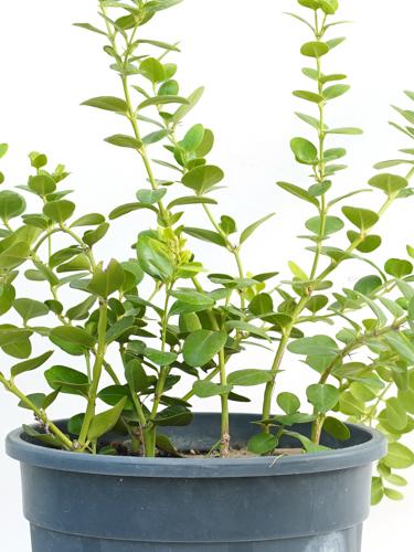 Carissa Grandiflora  'Outdoor Plants Shrubs