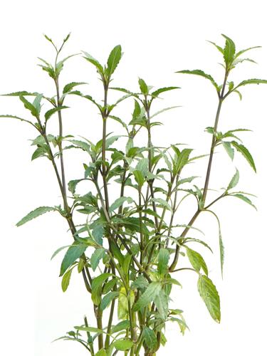 Browallia Speciosa 'Outdoor Plants Flowering Plants