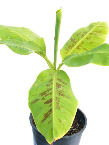 Banana Outdoor Plants Fruit Plants