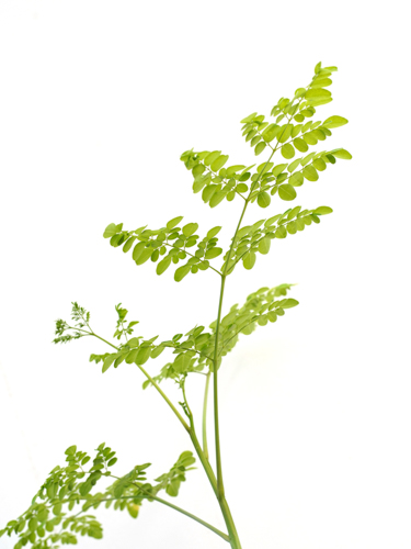 Moringa 'Outdoor Plants Shrubs