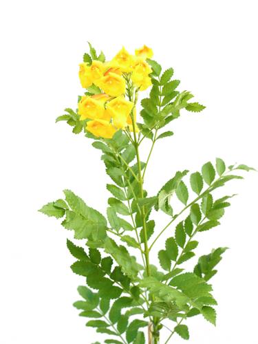 Tecomaria Yellow 'Outdoor Plants Flowering Plants