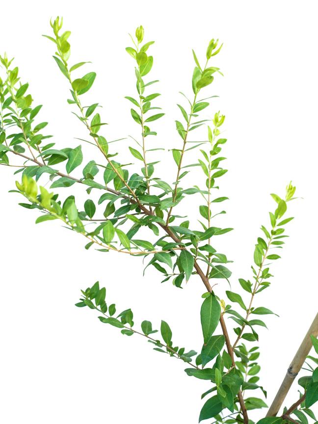 ميرتوس كومليس 'نباتات خارجية شجيرات