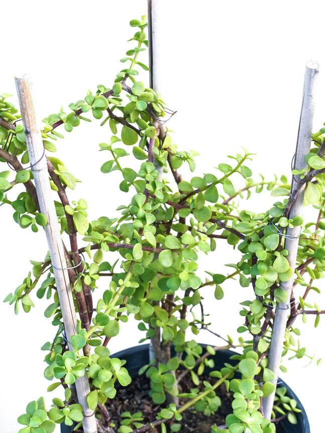 جاد بلانت نباتات خارجية نبات عصاري