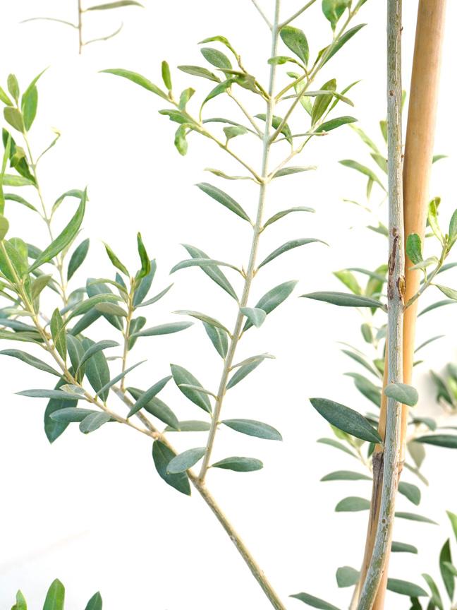Olive Europaea 'Outdoor Plants Trees