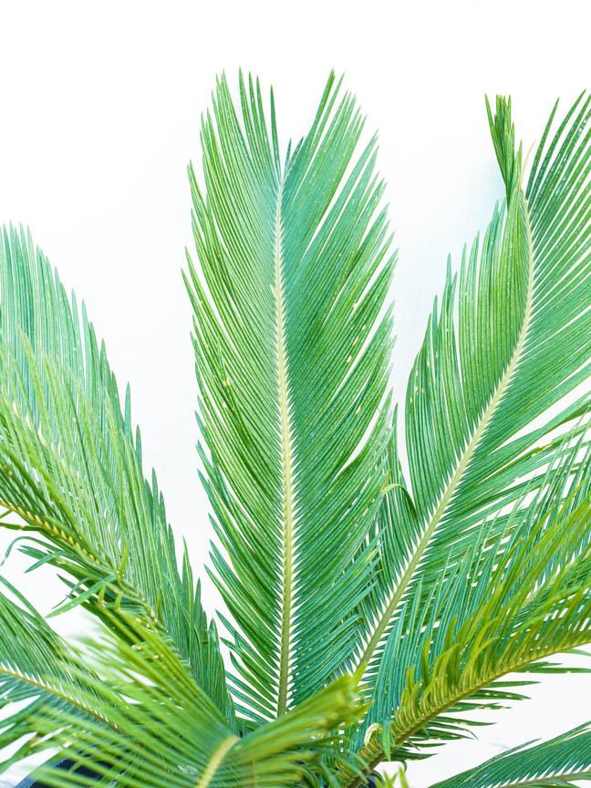 Cycas Revoluta Outdoor Plants Shrubs