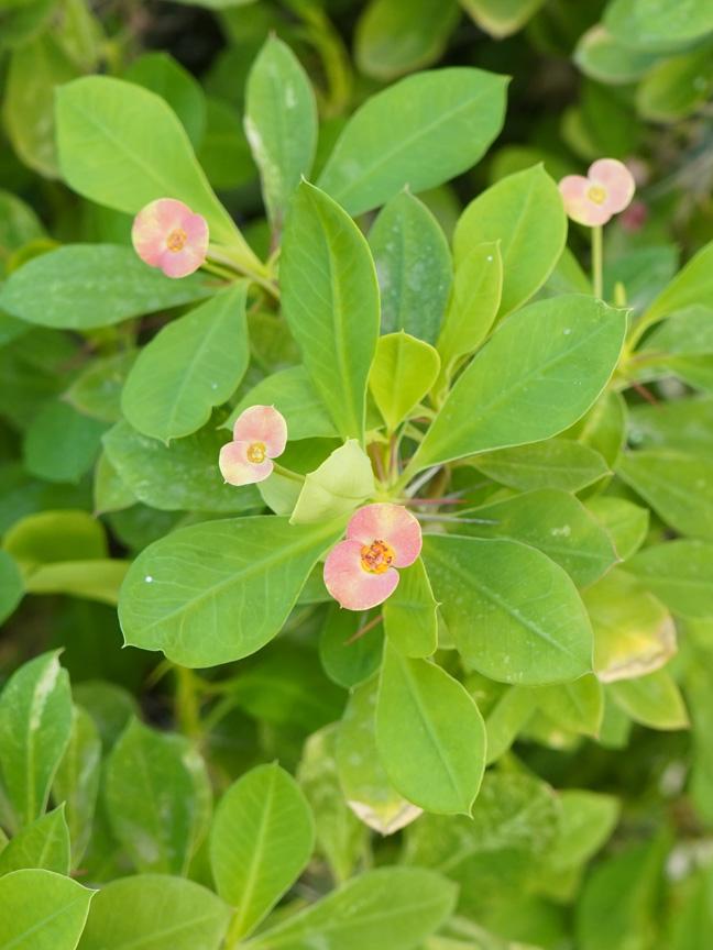 ايفوربيا - شوكه المسيح نباتات خارجية النباتات المزهرة