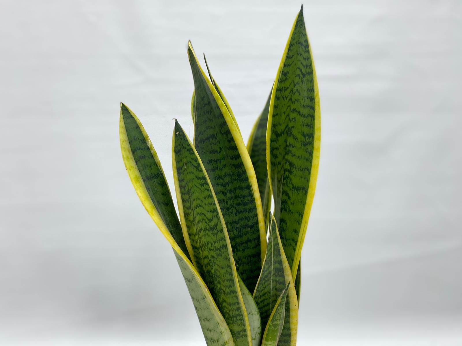 sansevieria laurentii Indoor Plants Shrubs