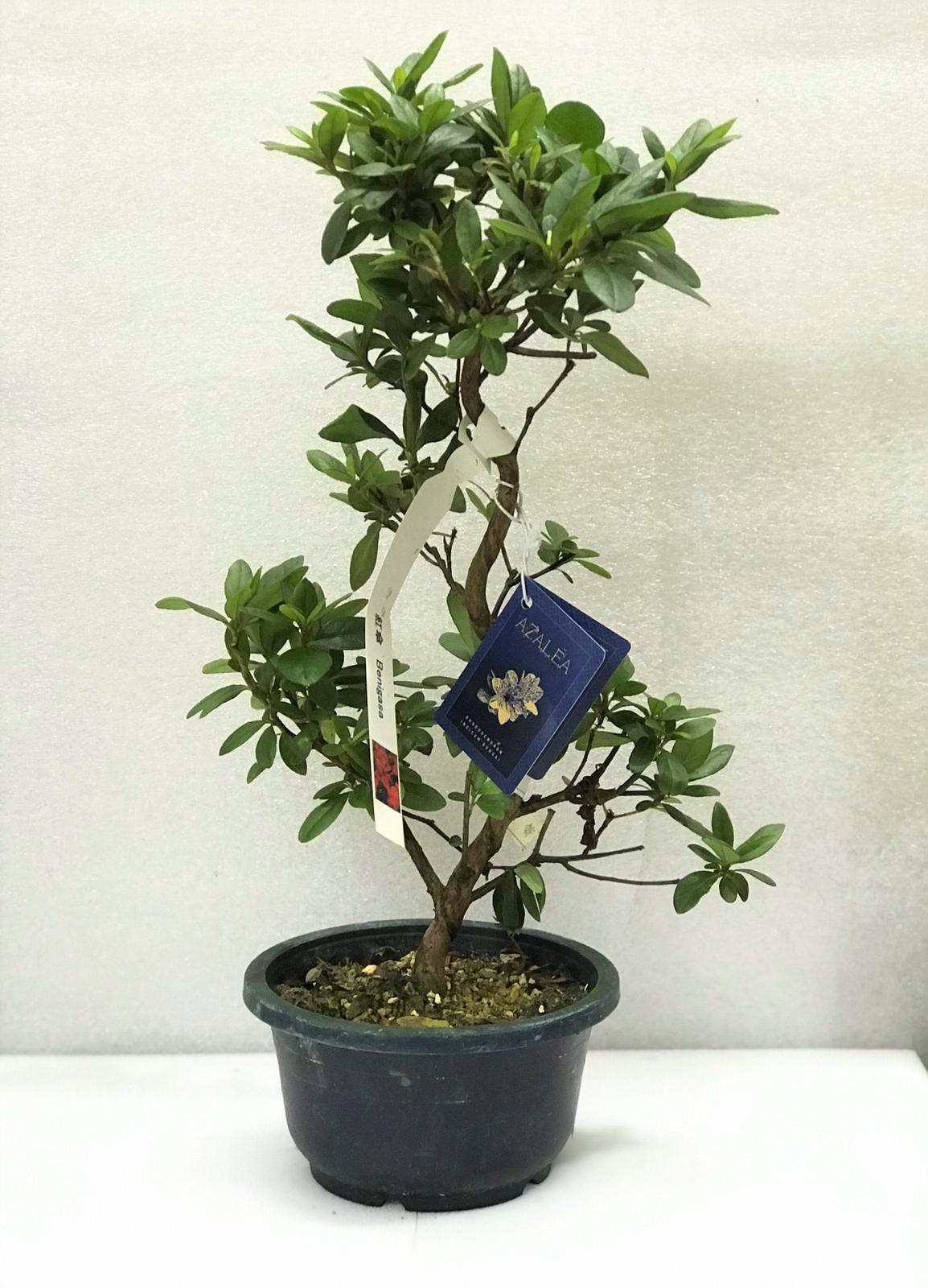 أزاليا بونساي نباتات للمكاتب نباتات و أواني