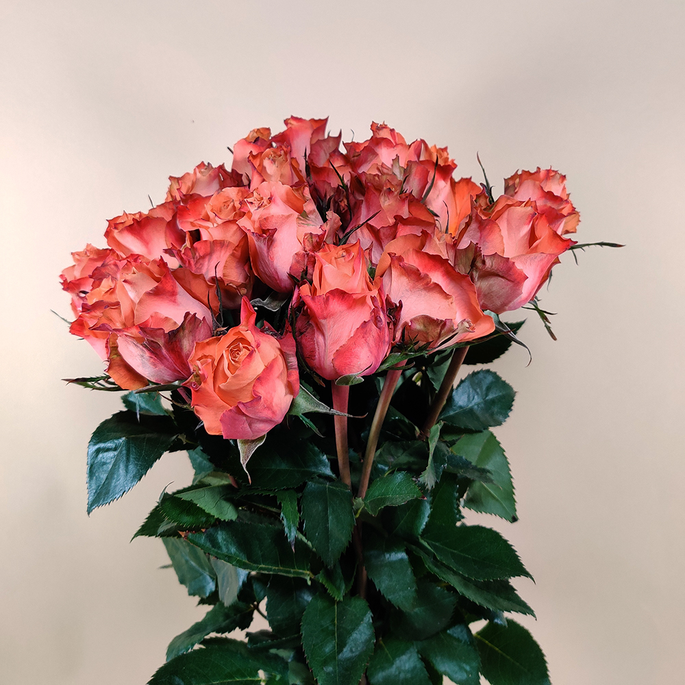 روز برتقالي  الزهور بالجملة زهور مقطوفة