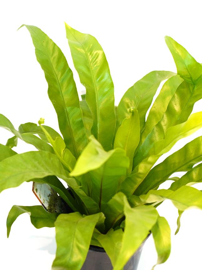 Asplenium Antiquum 'Indoor Plants Shrubs