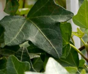 Hedera Helix Eva 9 Cutting Indoor Plants Shrubs