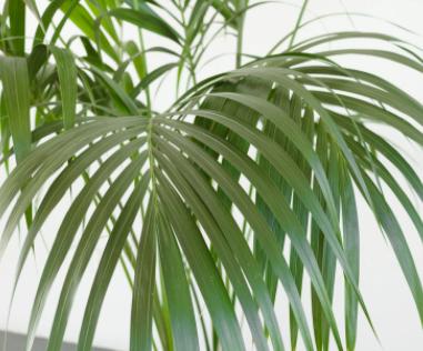 هاورثيافورستيريانا نباتات داخلية أشجار