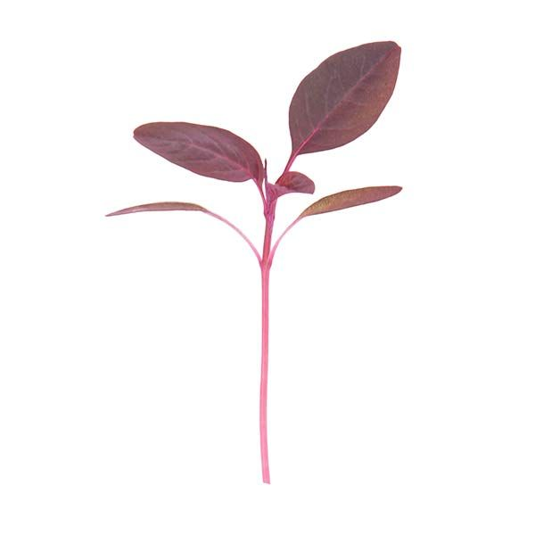 Amaranth Red Aztec - Micro Seeds Micro Greens