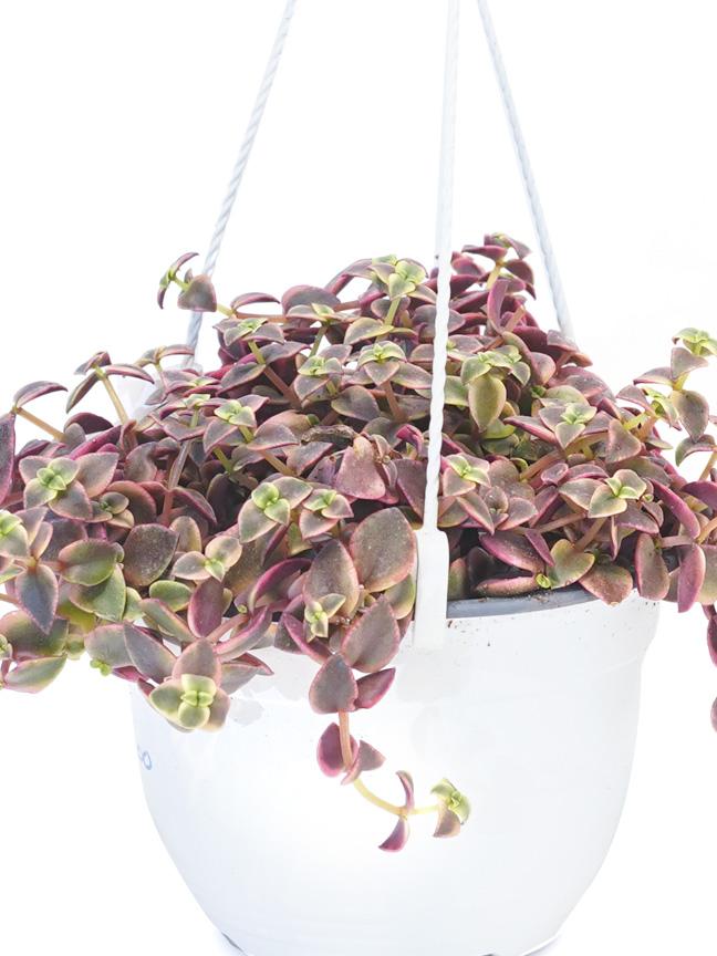 Crassula Marginalis Indoor Plants Hanging
