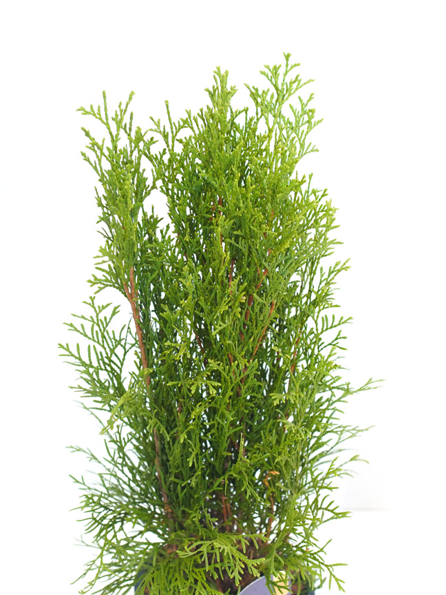 Thuja Occidentalis 'Smaragd' 'Indoor Plants Shrubs