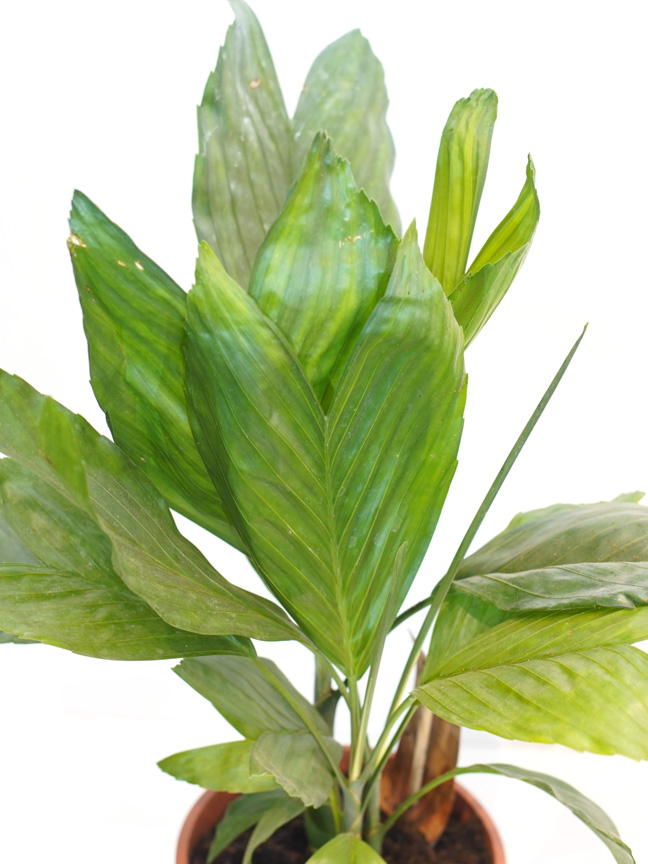 شاميدوريا ميتاليكا 'نباتات داخلية شجيرات