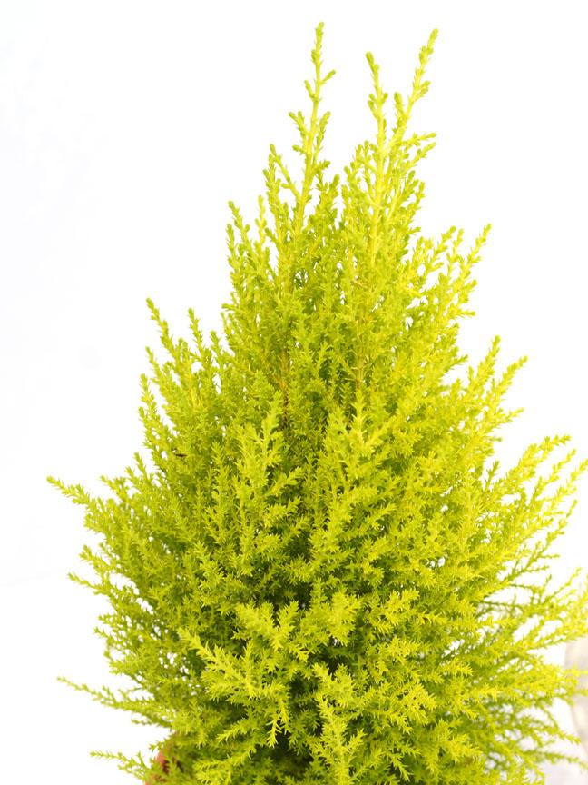 Cupressus Macrocarpa Goldcrest Wilma  Indoor Plants Shrubs
