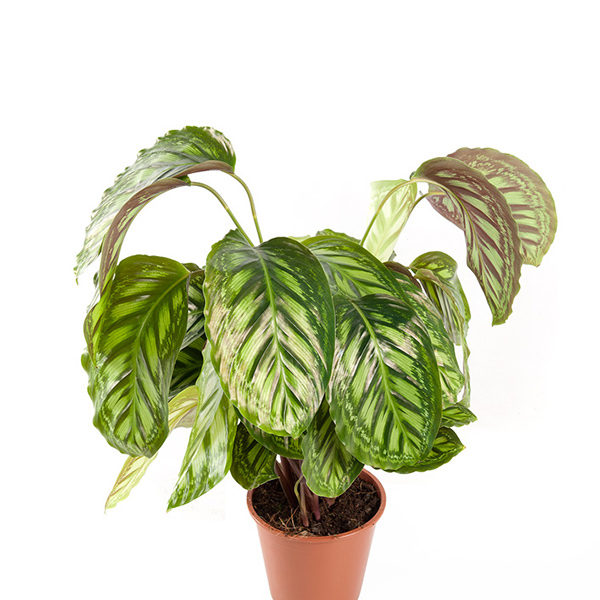 Calathea Flamestar Indoor Plants Shrubs