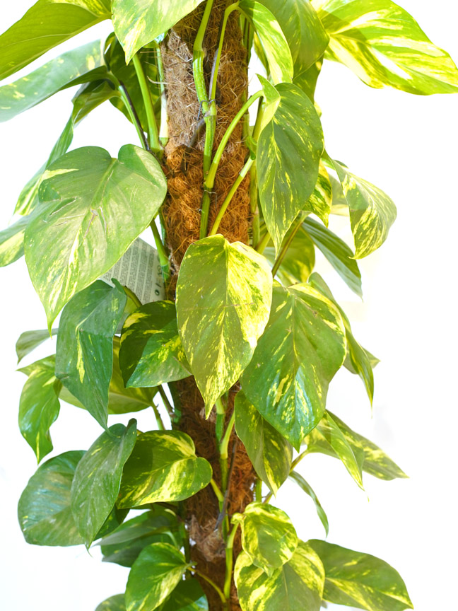 Epipremnum Pinn Mosstick 'Indoor Plants Shrubs