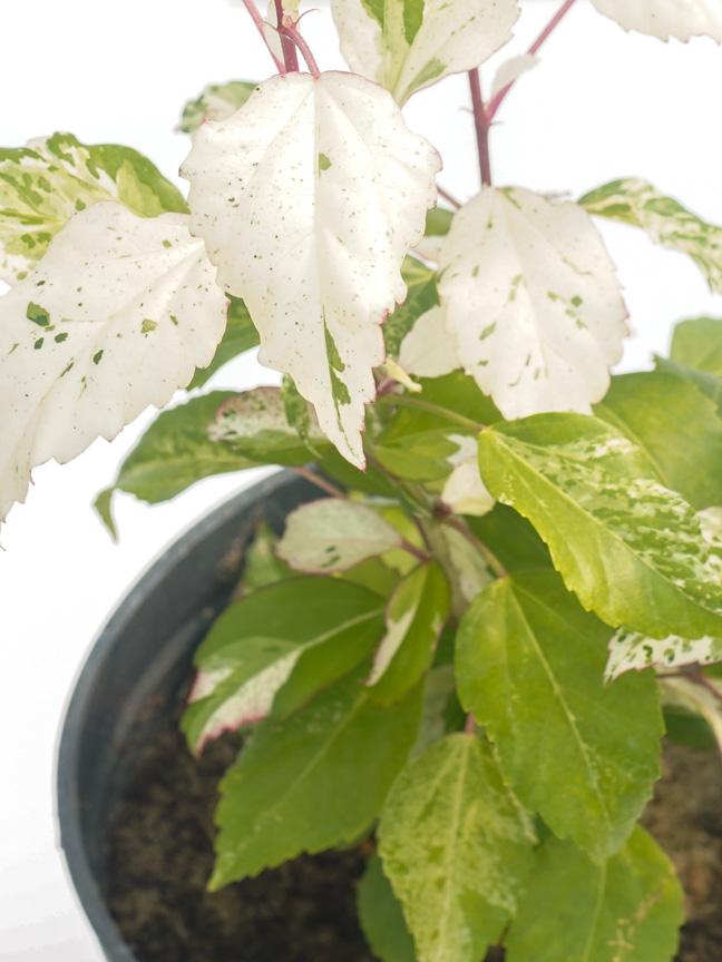 Hibiscus Mubargash 'Outdoor Plants Flowering Plants
