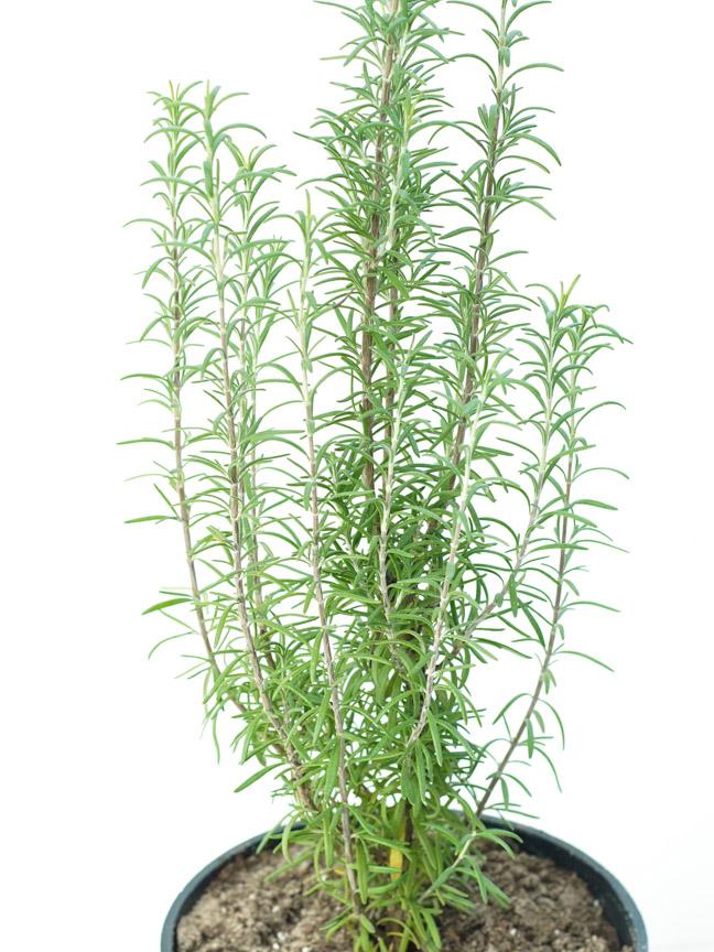 إكليل الجبل نباتات خارجية أعشاب