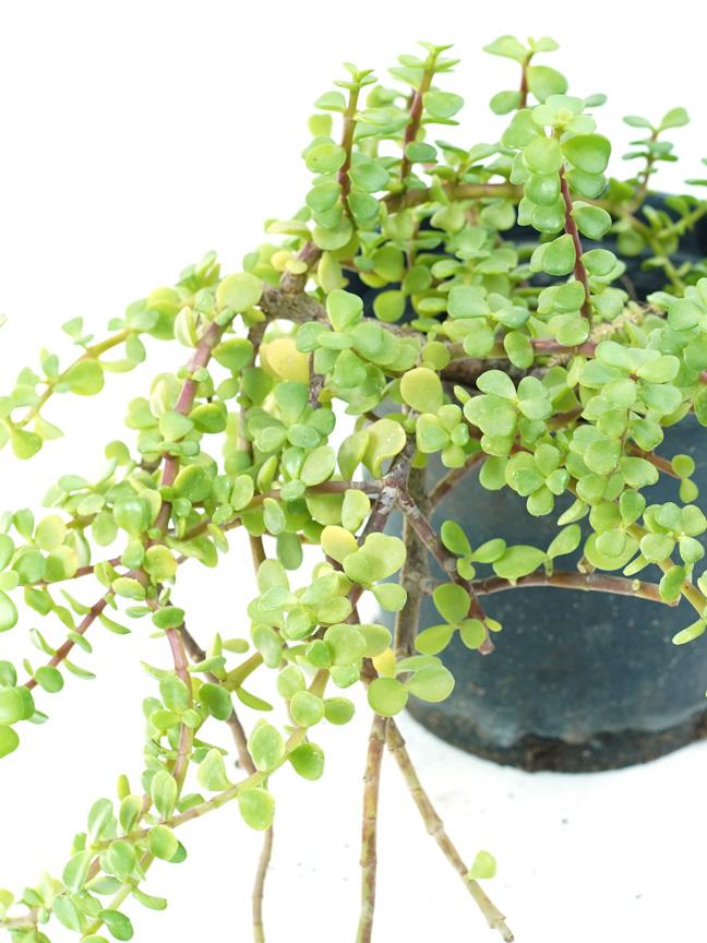 portulacaria afra succulent Outdoor Plants Succulent