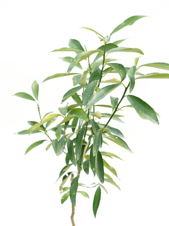 Fortunella Japonica 'Outdoor Plants Fruit Plants