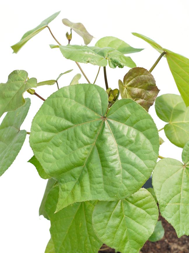 Hibiscus Rosa 'Outdoor Plants Flowering Plants