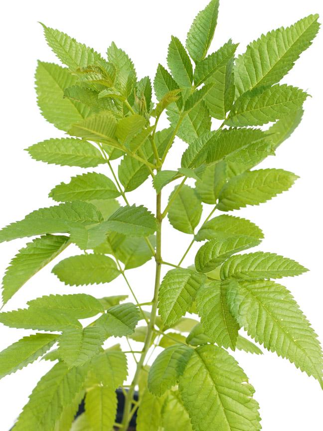 تيكومة  'نباتات خارجية النباتات المزهرة