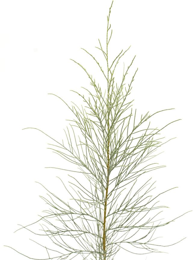 كازوارينا 'نباتات خارجية اشجار