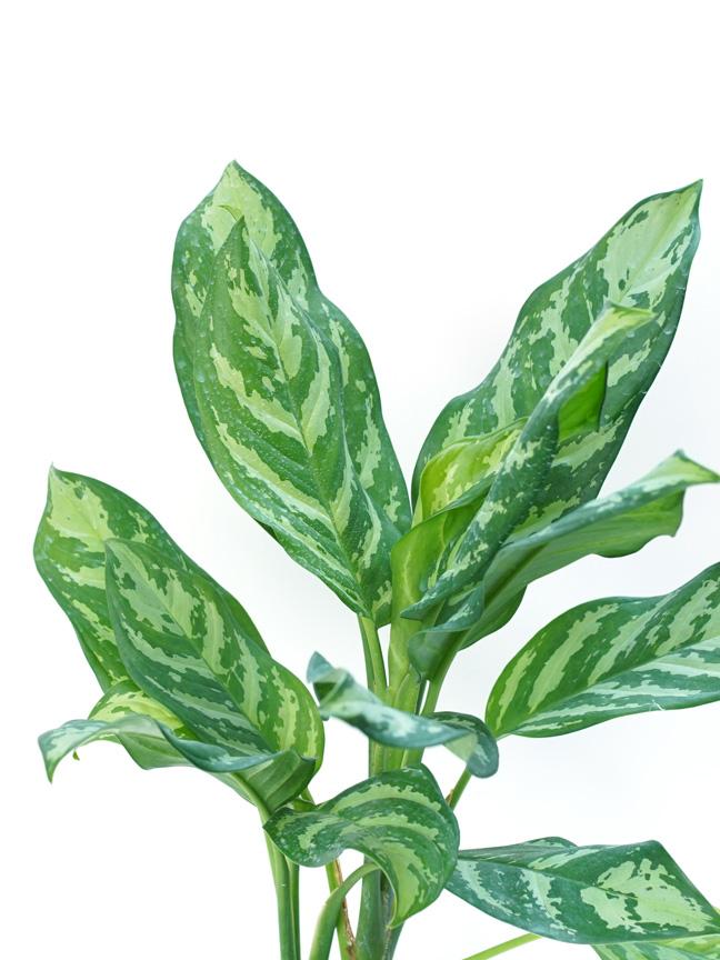 Aglaonema Maria ALJN Indoor Plants Shrubs