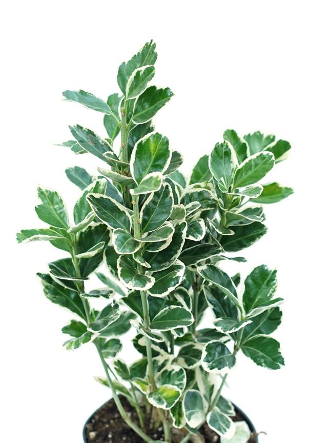 Euonymus ALJN Indoor Plants Trees
