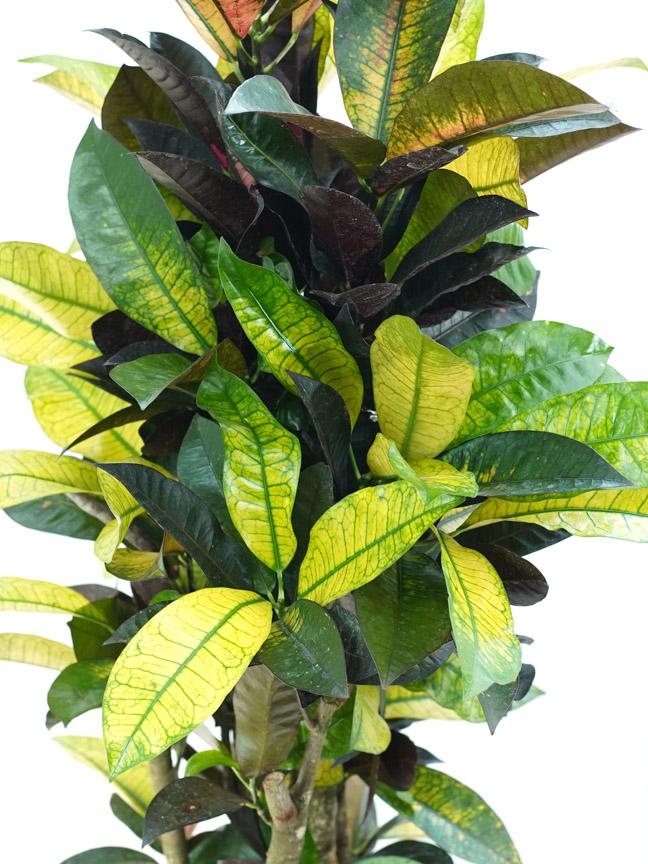 Codiaeum Iceton - Croton ALJN Indoor Plants Shrubs