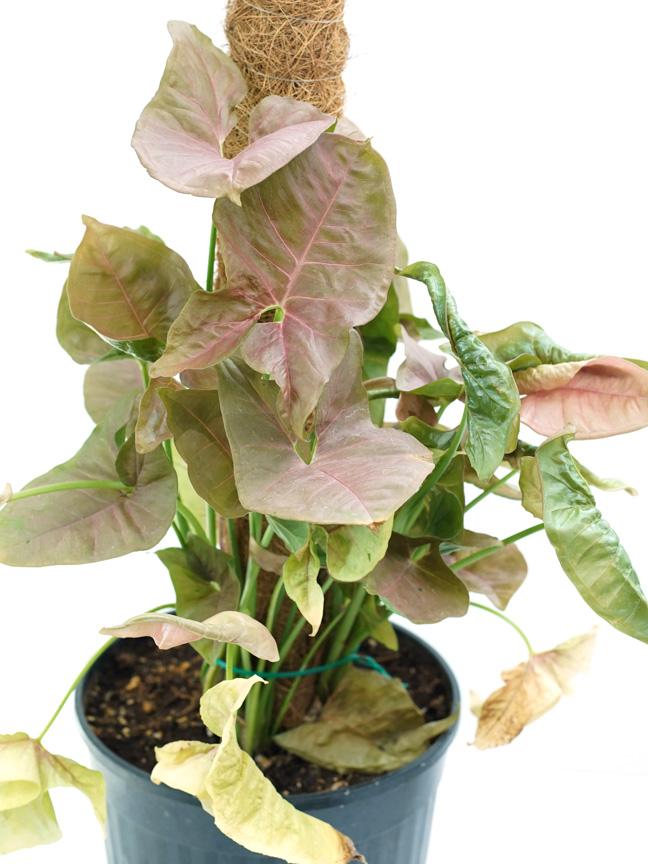 سينجونيوم اليبروح 'نباتات داخلية شجيرات