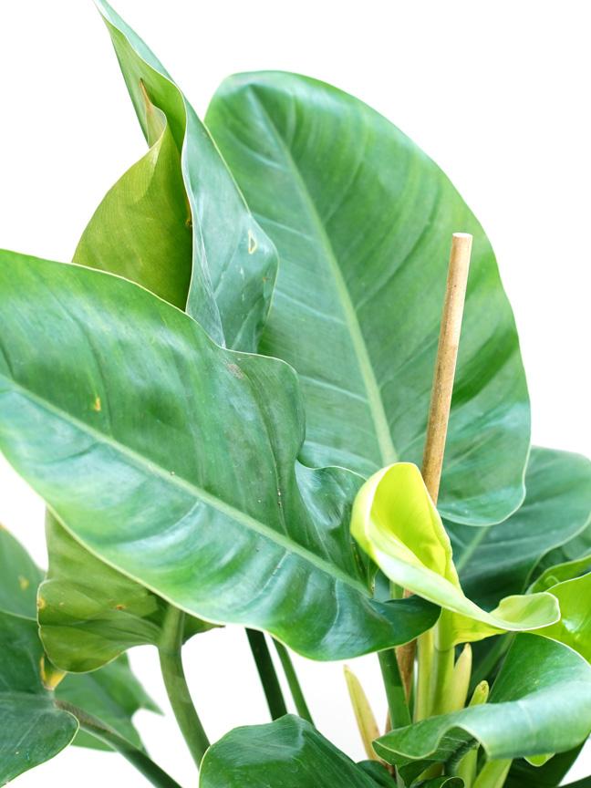 فيلوديندرون امبريال جرين 'نباتات داخلية شجيرات