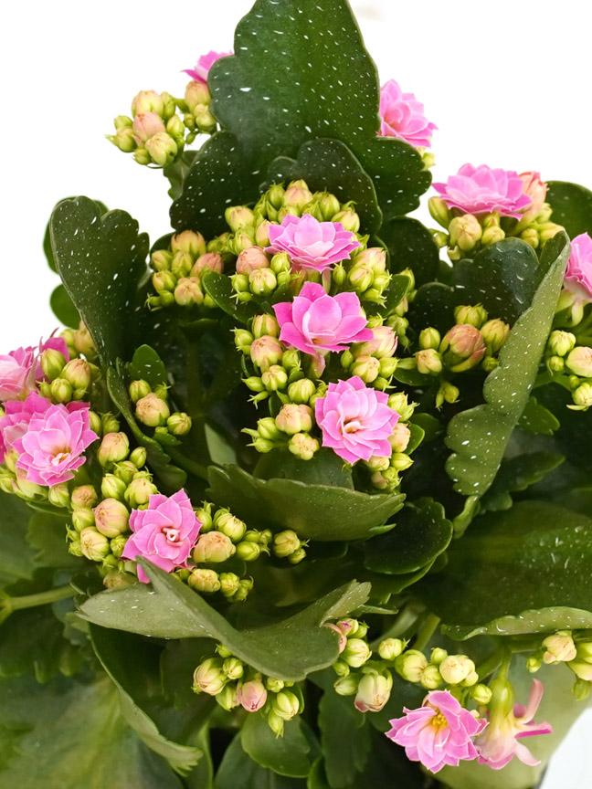 Kalanchoe Pink Indoor Plants Flowering Plants