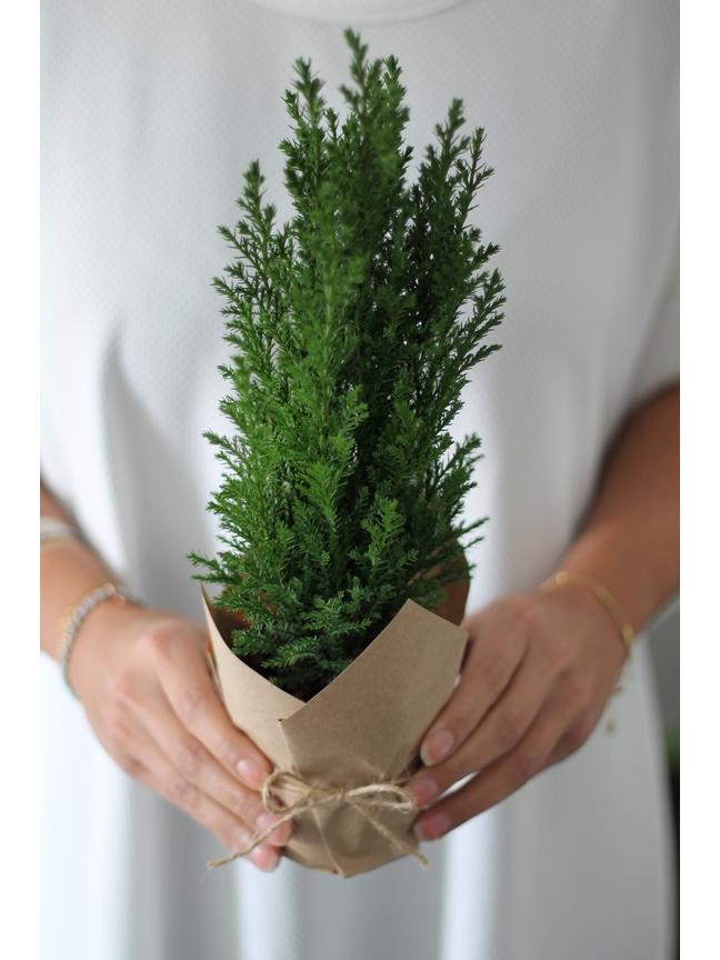 Cypresses  'Indoor Plants Shrubs