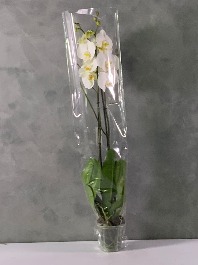 Butterfly Orchid Xxl 'Indoor Plants Flowering Plants