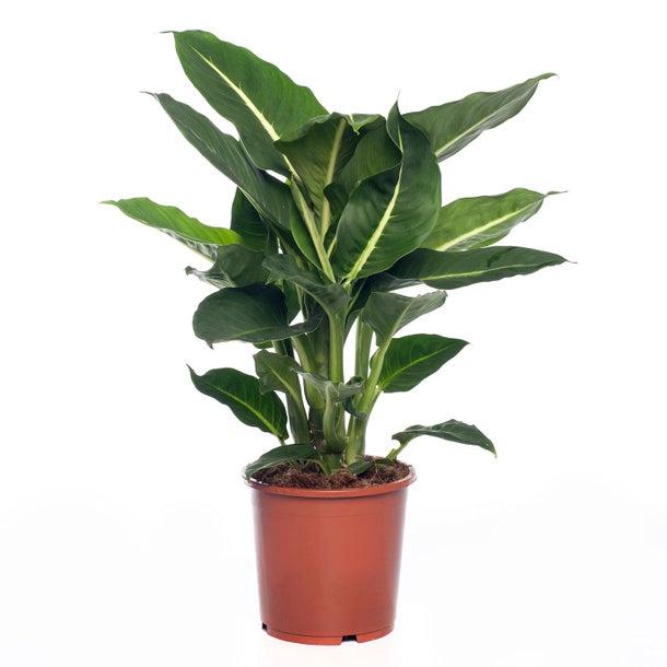 Dieffenbachia Plant  Indoor Plants Shrubs