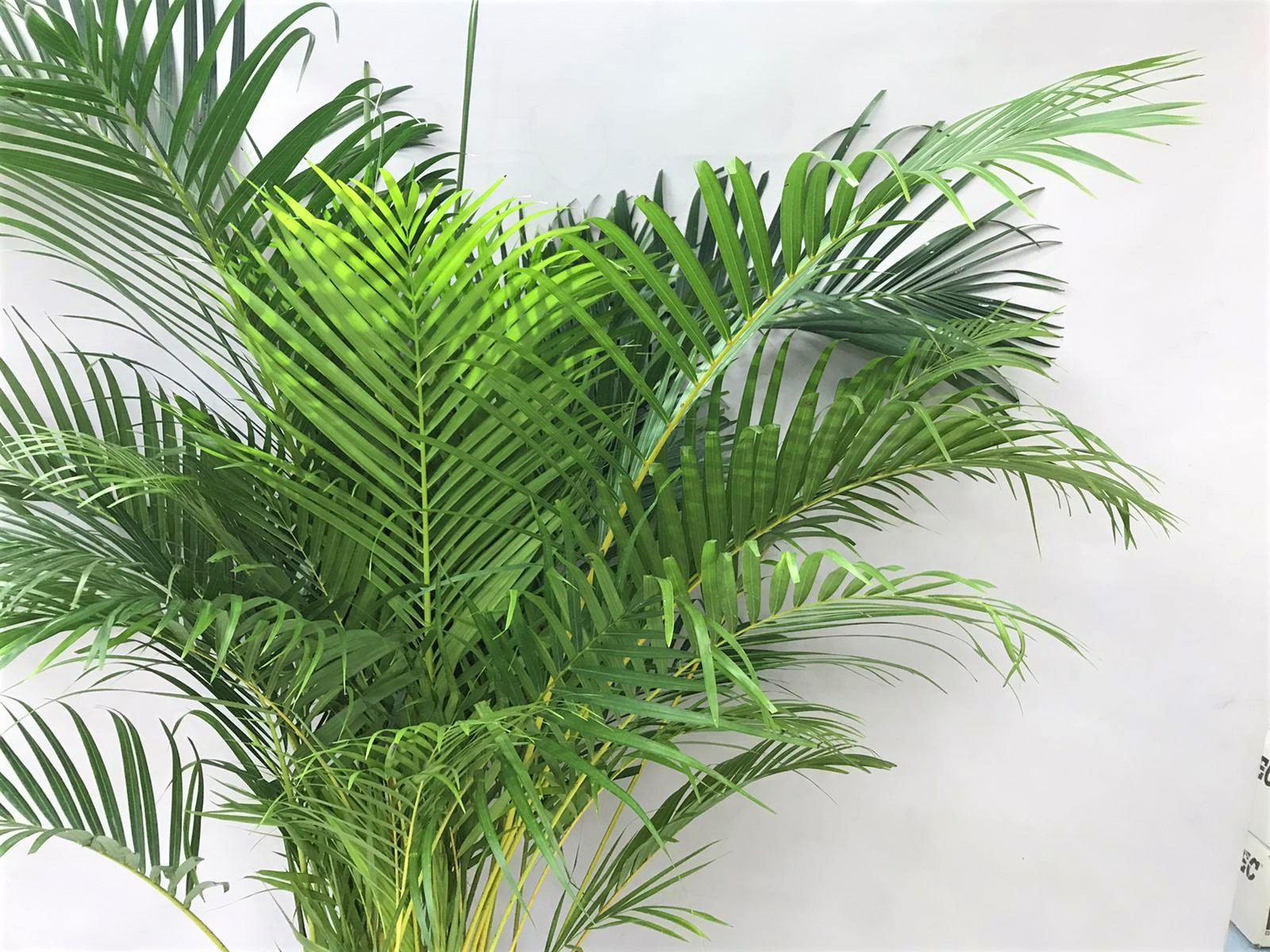 dypsis 200 Indoor Plants Trees