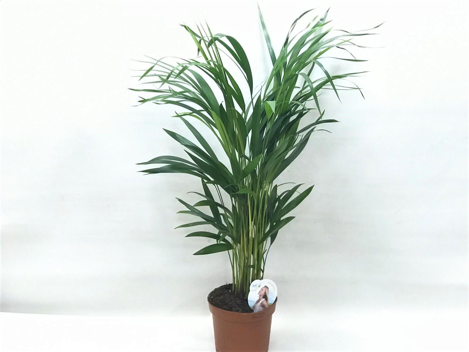 dypsis 60 Indoor Plants Trees