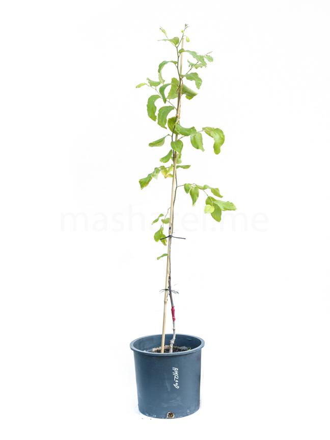 سدر أمرود مطعوم 'نباتات خارجية نباتات الفاكهة