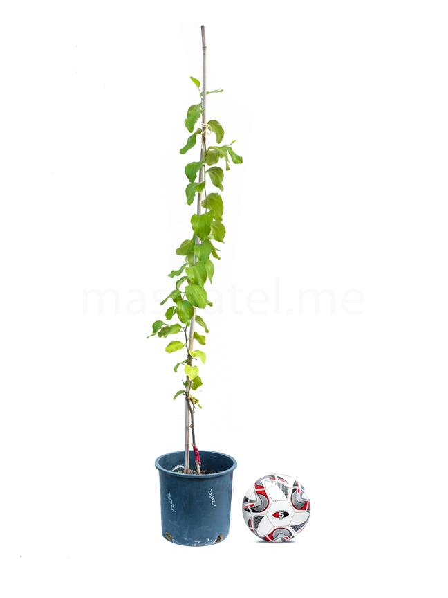 سدر جوزي مطعوم 'نباتات خارجية نباتات الفاكهة