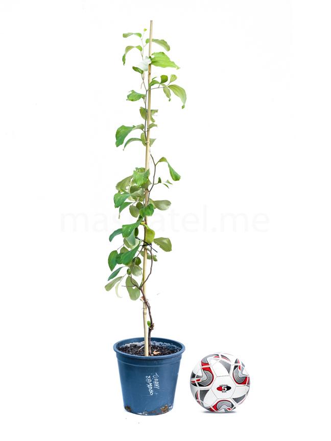 سدر تفاحي جامبو مطعوم 'نباتات خارجية نباتات الفاكهة