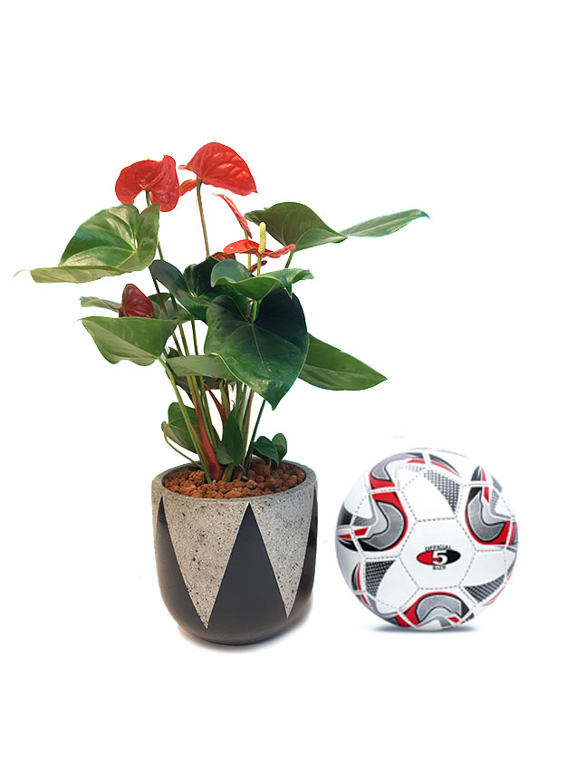 Anthurium Red Premium Collection Office Plants